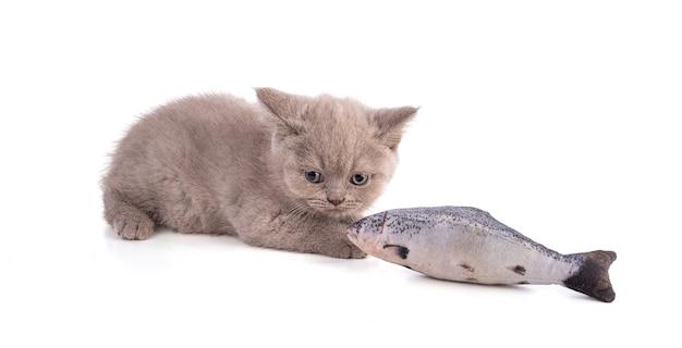 Dwumiesięczny kotek brytyjski z faszerowaną rybą na białym tle