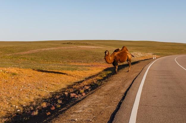 Dwupasowy wielbłąd stoi przy drodze