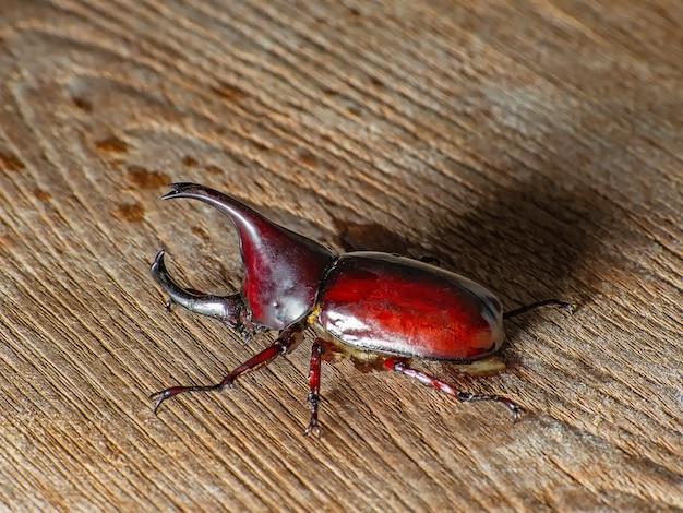 Dynastinae - rhinoceros beetle - chrząszczy nosorożca
