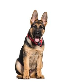 Dyszący owczarek niemiecki pies siedzi, odizolowane