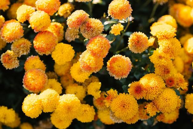 Dywan żółte chryzantemy w ogródzie, kwitnący ogród