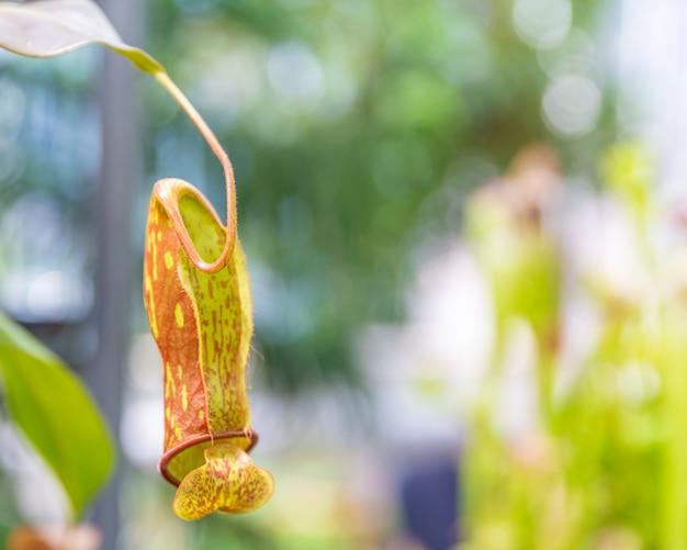 Dzbanecznik ampullaria, mięsożerna roślina w ogrodzie botanicznym