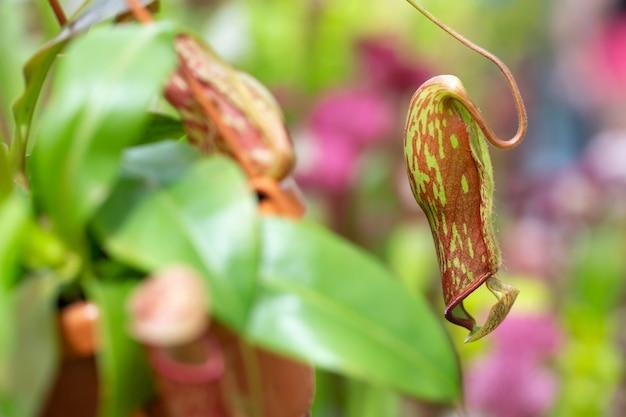 Dzbanecznik mięsożernych roślin w ogromnym ogrodzie botanicznym, koncepcja przyrody