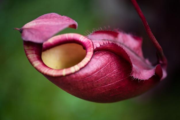 Dzbanecznik nazywany także tropikalnymi roślinami dzbanów w ogrodzie.