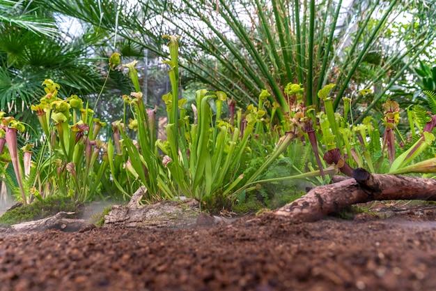 Dzbanecznik roślin mięsożernych w porannej mgle w lesie deszczowym