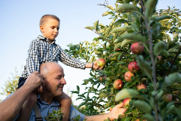 Dziadek niosący swojego wnuka na barana i zbierający razem jabłka w sadzie owocowym