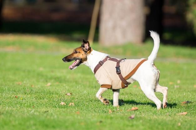 Działający pies na trawie