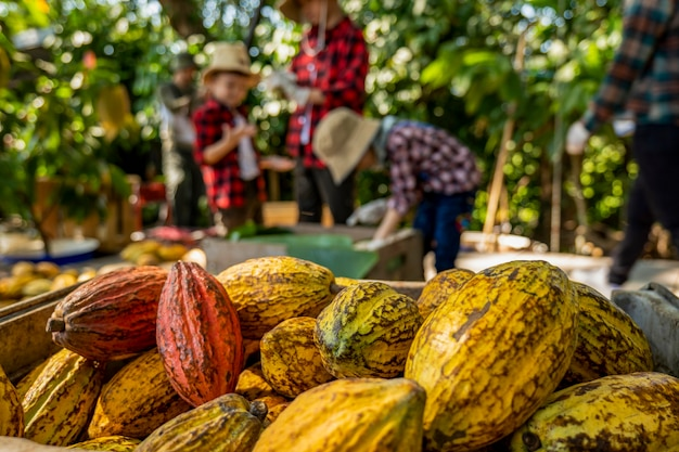 Dzieci pomogły rozpakować strąki kakao, świeży strąk kakao pocięty odsłaniając nasiona kakao, z sadzonką kakao