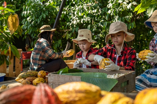 Dzieci pomogły rozpakować strąki kakao, świeży strąk kakao pocięty odsłaniając nasiona kakao,