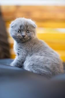 Dzieci zwierząt. mały kot brytyjski krótkowłosy. kotek