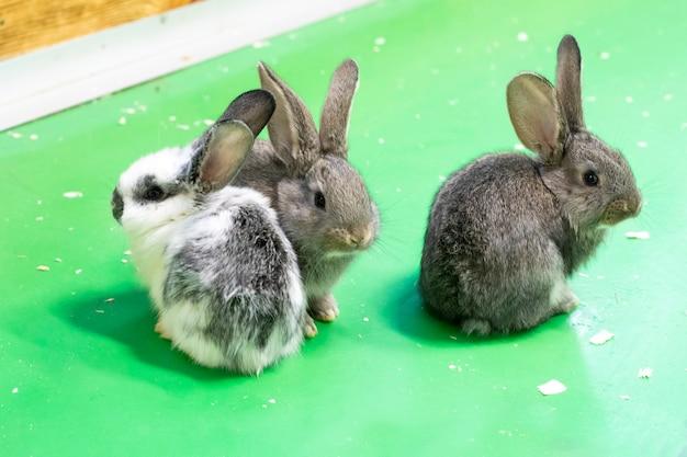 Dzieci zwierząt. trzy małe słodkie puszyste króliki na zielonym tle. rodzina zajęcy