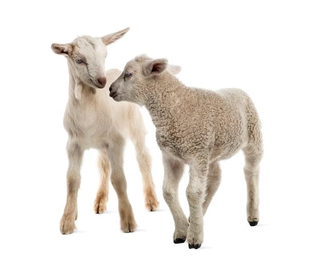 Dzieciak jagnięcina i koza (8 tygodni) na białym tle