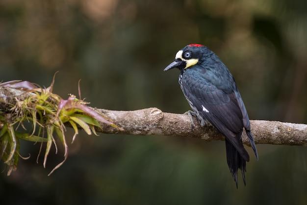 Dzięcioł acord (melanerpes formicivorus) siedzący na gałęzi drzewa i bromeliad w poszukiwaniu pożywienia