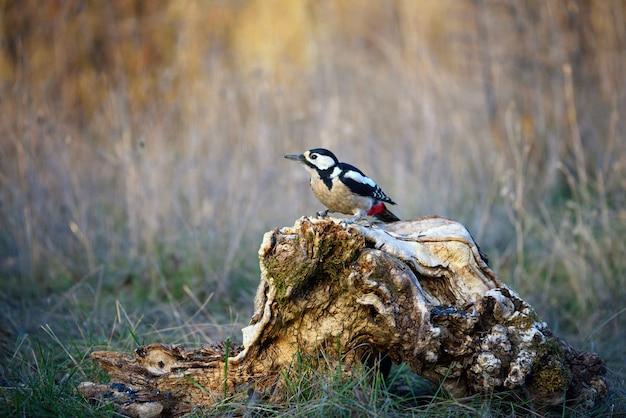 Dzięcioł duży siedzący na pniu drzewa (dendrocopos major)