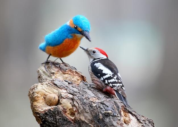 Dzięcioł średni z wypchanym ptakiem. zimorodek.