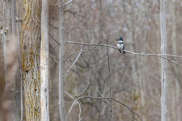 Dzięcioł stojący na gałęzi drzewa z niewyraźnym tłem