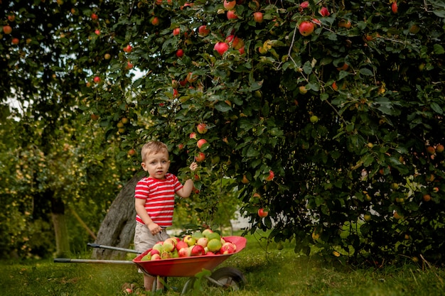 Dziecka zrywania jabłka na gospodarstwie rolnym. chłopiec bawić się w jabłoń sadzie. dziecko zbiera owoce i wkłada je do taczki. dziecko je zdrowe owoc przy spadku żniwem. zabawa na świeżym powietrzu dla dzieci