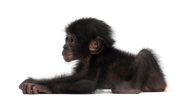 Dziecko bonobo, pan paniscus, 4 miesiące, leżące na białej przestrzeni