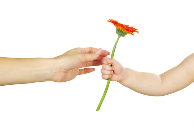 Dziecko daje czerwonemu gerber kwiatowi jej matka. koncepcja dzień matki