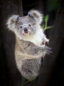 Dziecko koala niedźwiedź siedzi na drzewie.
