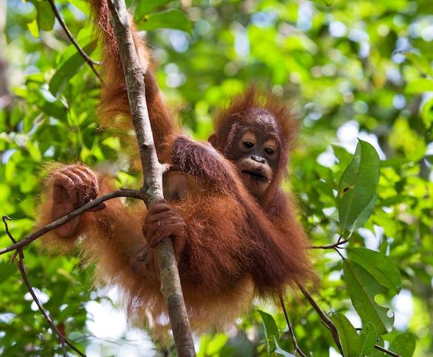 Dziecko orangutan na wolności. indonezja. wyspa kalimantan (borneo).