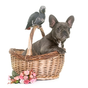 Dziecko szary papuga i szczeniak buldog
