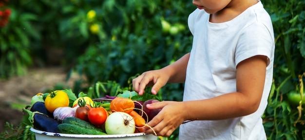 Dziecko trzyma w rękach warzywa informacyjne. warzywa w misce na farmie. produkt ekologiczny z gospodarstwa.