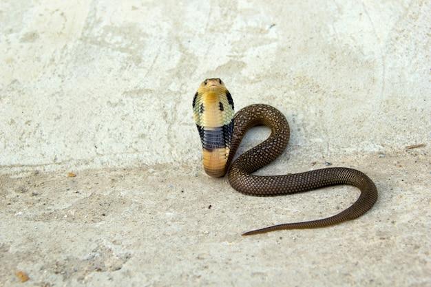 Dziecko węża kobra na cementowej podłoga