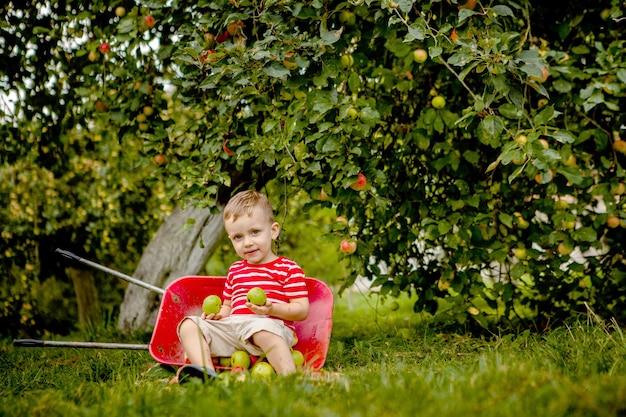 Dziecko zbiera jabłka na farmie. mały chłopiec bawi się w sadzie jabłoni. dzieciak zbiera owoce i wkłada je do taczki