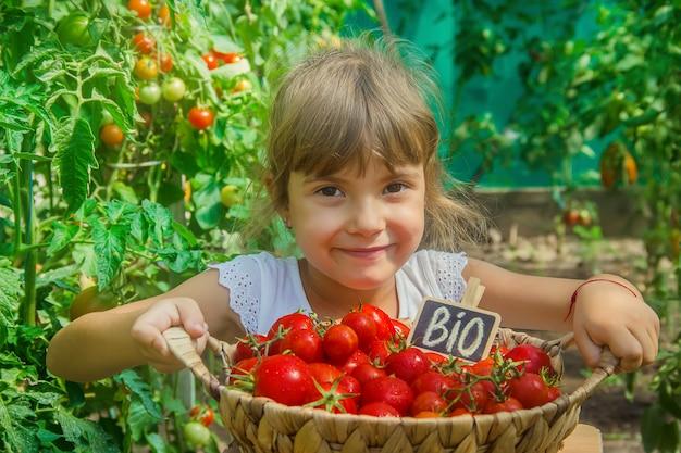 Dziecko zbiera plon pomidorów.