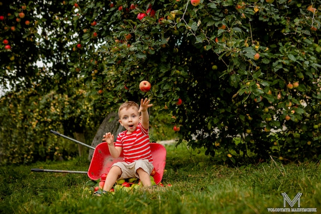 Dziecko zbieranie jabłek na farmie grającej w sadzie drzewnym