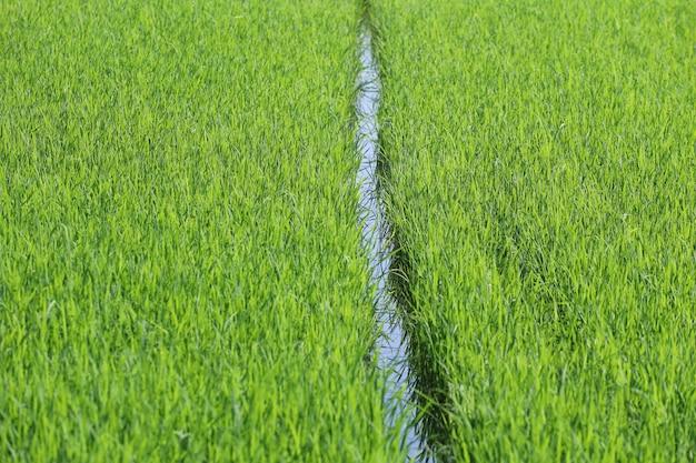 Dziecko zielone pole ryżowe na wsi w tajlandii