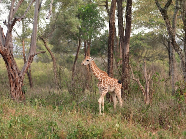 Dziecko żyrafa w kenja afryka