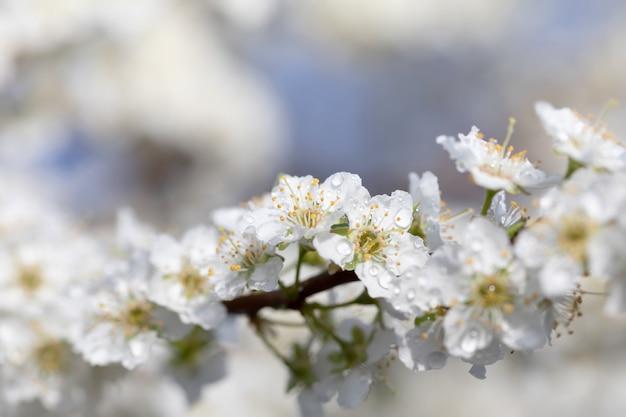Dzień wiosny. białe kwiaty drzewa po deszczu z kroplami wody. małe krople wody na płatkach. nieostrość i płytkie dof
