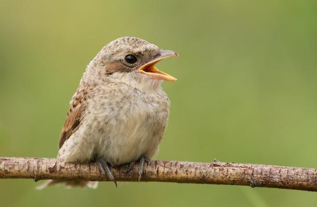 Dzierzba z czerwonym grzbietem, młode ptaki wzywające rodziców