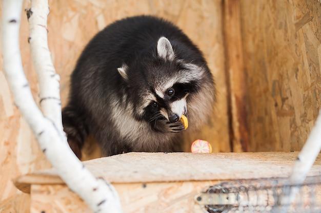 Dziewczyna karmi szop pracz w zoo.