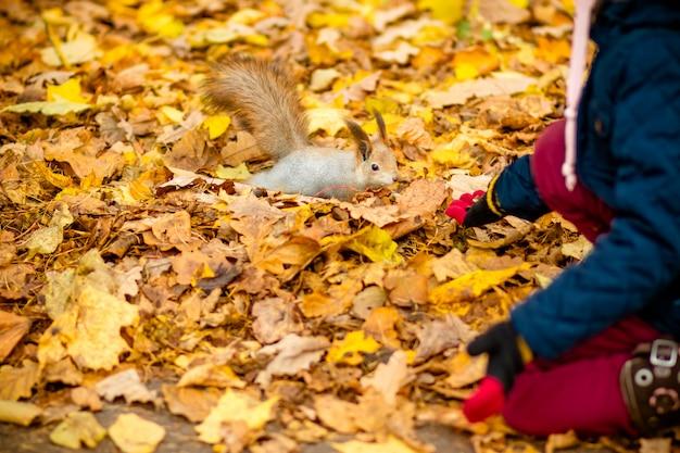 Dziewczyna karmi wiewiórkę w jesień parku. dziewczynka w niebieskim płaszczu ogląda dzikie zwierzę w jesiennym lesie ze złotymi liśćmi dębu i klonu