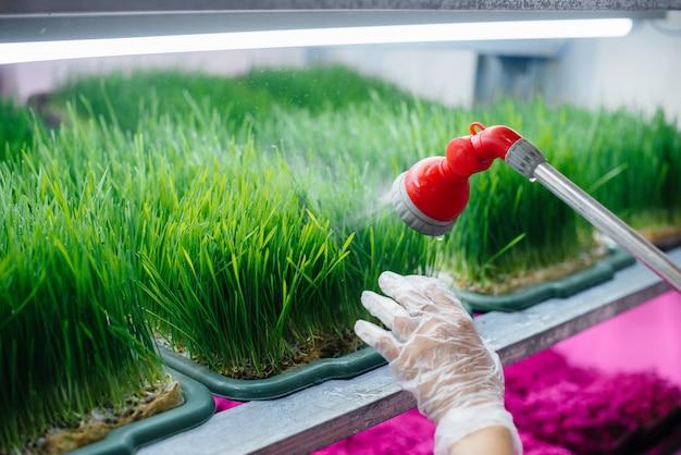 Dziewczyna podlewa mikro zielone kiełki w nowoczesnej szklarni. zdrowa dieta.