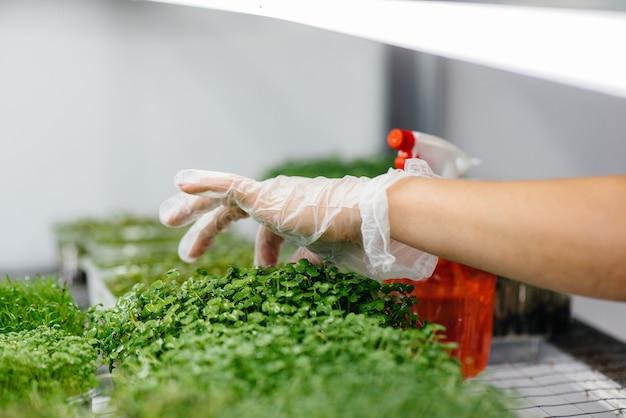 Dziewczyna podlewa mikro zielone kiełki z bliska w nowoczesnej szklarni. zdrowa dieta.