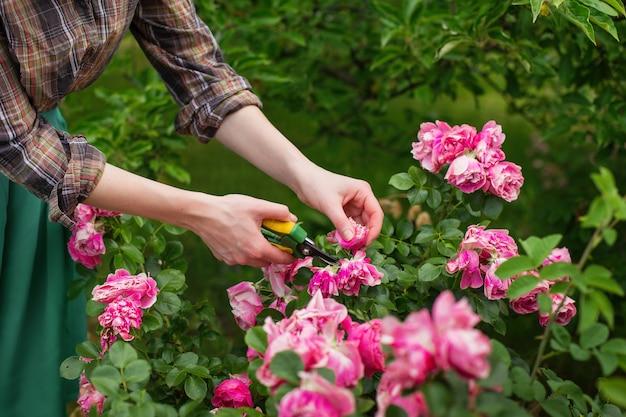 Dziewczyna przycina krzak (róża) z sekatorami w ogrodzie