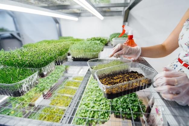 Dziewczyna sadzi nasiona mikro zieleniny z bliska w nowoczesnej szklarni. zdrowa dieta.