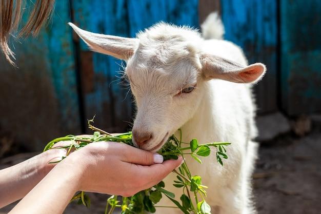 Dziewczyna Trzyma W Rękach świeżą Zieloną Trawę I Karmi Małą Kozę. Opieka Nad Zwierzętami Premium Zdjęcia