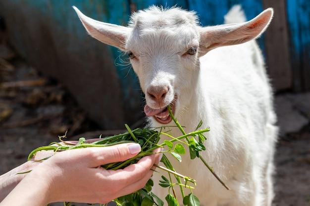Dziewczyna trzyma w rękach świeżą zieloną trawę i karmi małą kozę. opieka nad zwierzętami