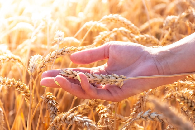 Dziewczyna w rękach trzyma kłosy pszenicy wśród pola pszenicy, gorący letni dzień