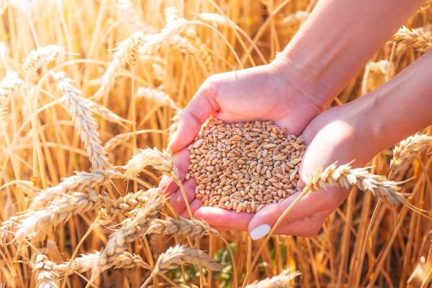 Dziewczyna w rękach trzyma ziarna pszenicy wśród pola pszenicy, gorący letni dzień