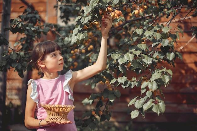Dziewczynka zbiera dojrzałe morele z drzewa w swoim ogrodzie.