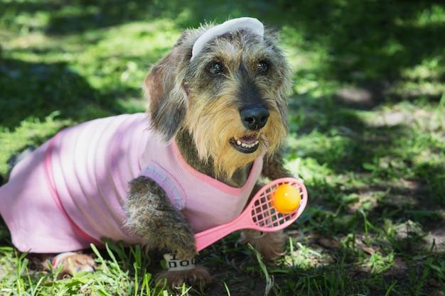 Dzik jamnik szorstkowłosy w różowym stroju tenisisty w parku