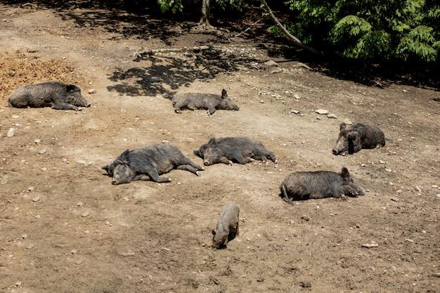 Dzik - sus scrofa - na bagnach w ich naturalnym środowisku.