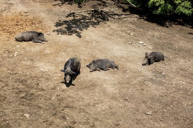 Dzik - sus scrofa - na bagnach w swoim naturalnym środowisku. zdjęcie dzikiej przyrody.