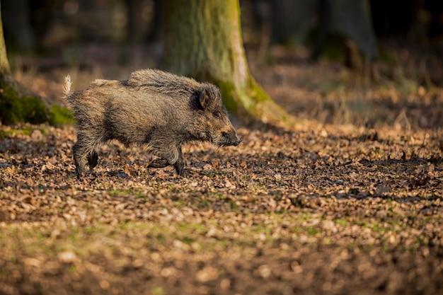 Dzik W Naturze Siedlisko Niebezpieczne Zwierzę W Lesie Czechy Natura Sus Scrofa Darmowe Zdjęcia